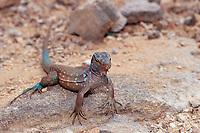 Blue whiptail lizard, Cnemidophorus murinus ruthveni, Netherland Antilles, Caribbean, Atlantic, Bonaire, Bonaire, Washington, USA Slagbaai National Park, Boka Chikitu