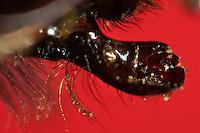 Erdhummel, Hummel, Mundwerkzeuge, Mandibel, Mundwerkzeug, die ausgeklappten Oberkiefer, Mandibeln, Mandibel, kauen, Arbeiterin, Bombus terrestris oder Bombus lucorum