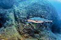 whitetip reef shark, Triaenodon obesus, Roca Partida, Revillagigedo Archipelago Mexico, Pacific Ocean