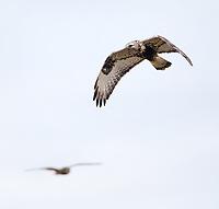 A Rough-legged hawk flies in front of a Short-eared owl in Washington's Skagit Valley.