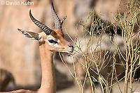 0523-1105  Southern Gerenuk Eating Leaves Using Long Neck to Reach them, Litocranius walleri walleri  © David Kuhn/Dwight Kuhn Photography