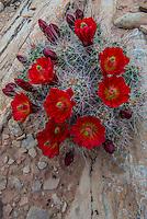 Clarert Cup Cactus (Echinocereus triglochidiatus) in Arches National Park Utah.