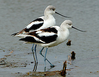 Two adult American avocets in winter plumage