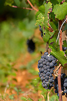 Bunches of ripe grapes. Pinot noir. Beaune, Cote d'Or, Burgundy, France