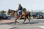 August 14, 2021, Deauville (France) - Racehorse after training at the beach crossing a street at the beach in Deauville on the way to the stable. [Copyright (c) Sandra Scherning/Eclipse Sportswire)]