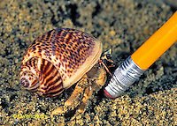 1Y48-001z  Land Hermit Crab reacting to intrusion with pencil.