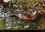Wood Duck, Juvenile Breeding Male, Drake, Franklin Canyon, Southern California