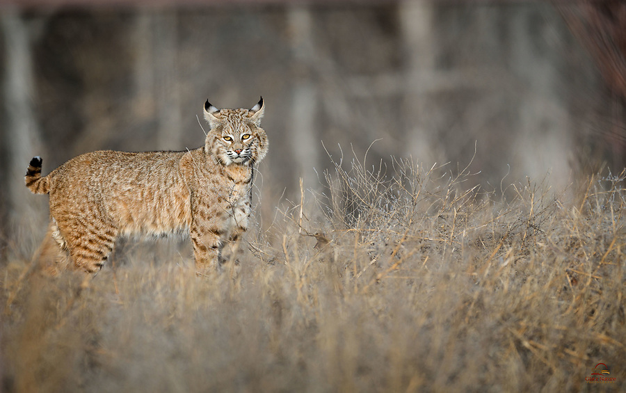 We photographed many birds on our recent trip to Bosque del Apache National Wildlife Refuge in New Mexico. On the loop road, we spotted a Bobcat (Lynx rufus) behind a large gate near a maintenance area. Exiting the vehicle very slowly and very quietly, we stayed close to the vehicle and got down low. The Bobcat was curious, and watched us for about a minute before it ran off. Just to see a Bobcat in the open in the wild was a treat. To come face to face with this gorgeous cat (pretty sure it was a female, based on rear-end view), in great morning light and without too much brush obscuring its face, was phenomenal. Our hearts are still pounding. There is some fencing in the background, but we left it alone. No Photoshop here.<br />  <br /> Bosque del Apache National Wildlife Refuge, New Mexico, USA.