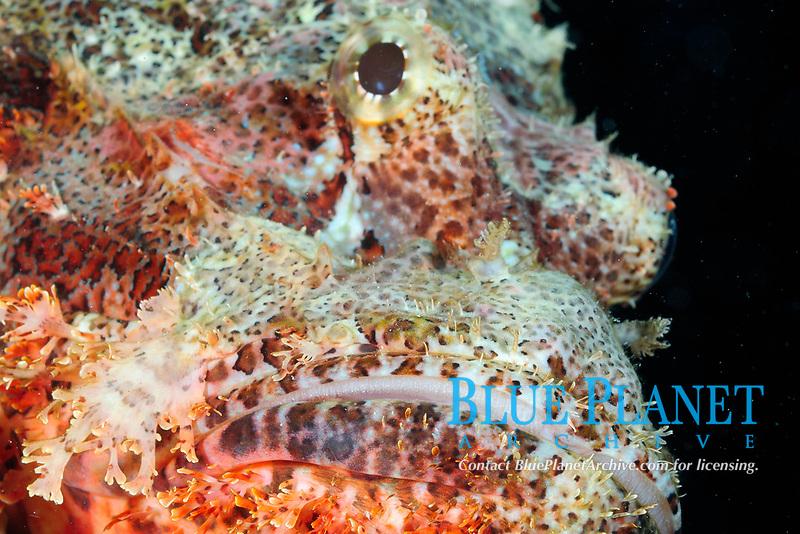 Smallscale scorpionfish (scientific name: Scorpaenopsis oxycephalus), fish, off Hamata coast, Egypt, Red Sea.