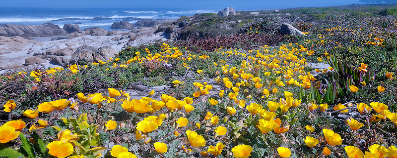 California Poppies and ocean on 17 Mile Drive. Pebble Beach, California