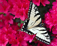 Monarch Butterfly on Azaleas, May 2, 2011