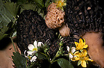 Black and yellow morel mushrooms at edible stage, Morchella elata, esculenta sac fungus