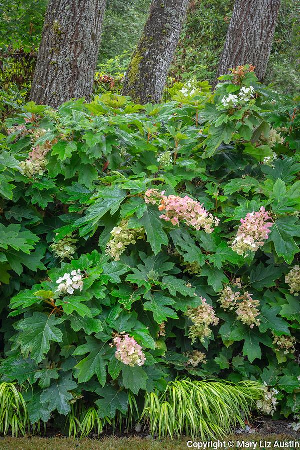 Vashon-Maury Island, WA: Flowering oakleaf hydrangea and Japanese forest grass in shade garden