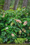 Vashon-Maury Island, WA: Flowering oakleaf hydrangea and Japanese forest grass in shade garden
