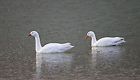 The Coscoroba swan is more closely related to ducks and geese than it is to actual swans.