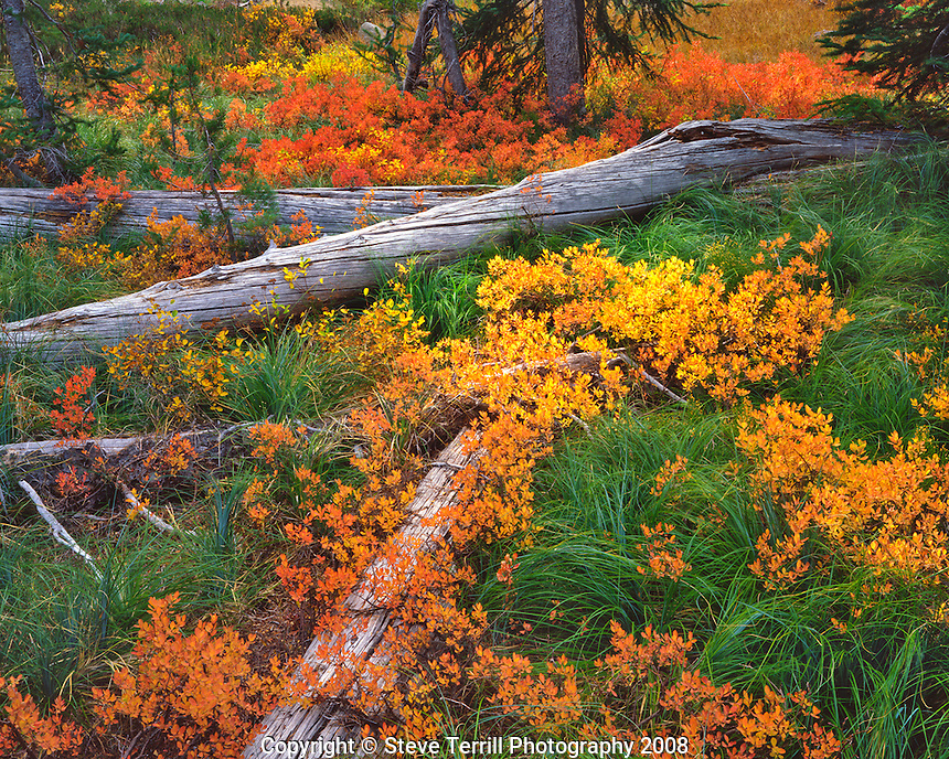 Huckleberry plants and fallen trees in Waldo Lake Wilderness Oregon