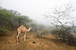 Dromedary (Camelus dromedarius) camel sub-adult in cloud forest, Hawf Protected Area, Yemen
