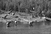 Cow elk crossing Gibbon River. Yellowstone National Park.