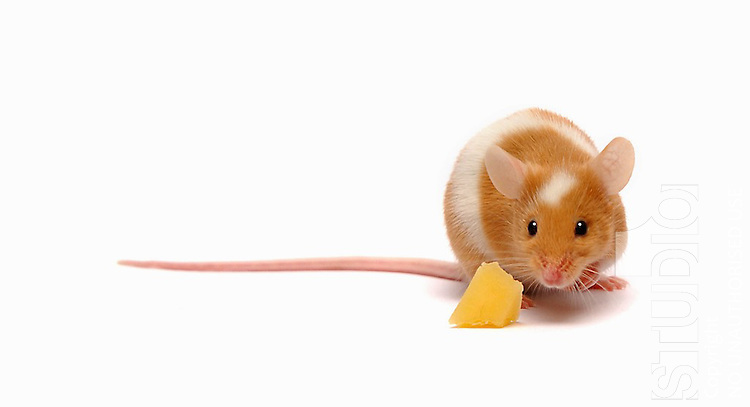 mouse sniffing at piece of cheese