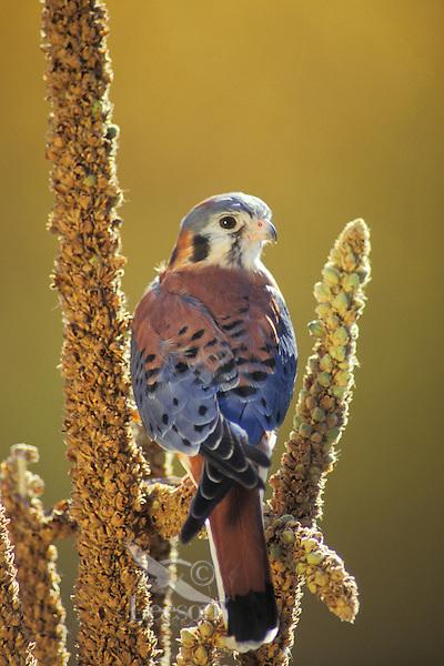 Kestrel (Falco sparverius).  Western U.S.,  Fall.