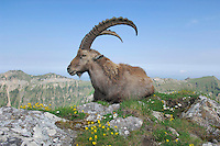 Alpine Ibex (Capra ibex) adult among flowers,Niederhorn, Interlaken, Switzerland