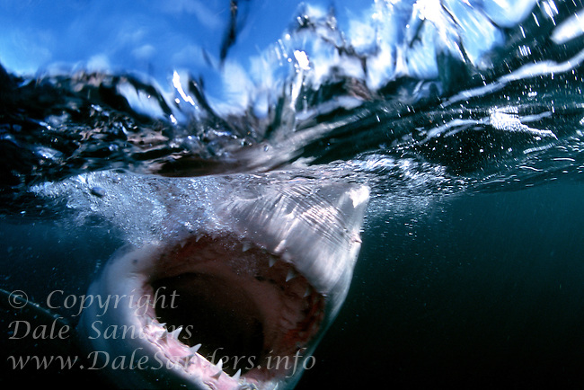 Great White Shark (Carcharodon carcharias) attacking. South Africa. Photo Copyright Protected © Dale Sanders / www.dalesanders.info  All Rights Reserved Worldwide.