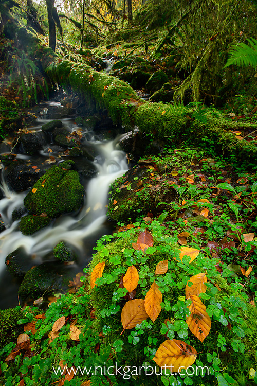 Patch of common wood sorrel (Oxalis acetosella) with fallen beech leaves and flowing stream. Caledonian forest, Reilig Glen, Scottish Highlands. Scotland. October.