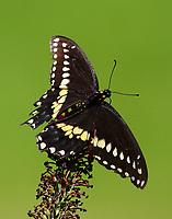 Male black swallowtail at butterfly bush