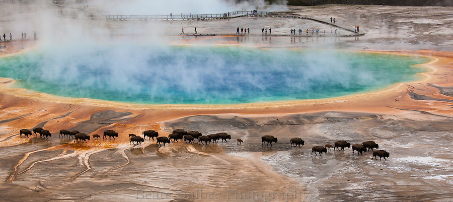 bison passing by Grand Prismatic spring, Yellowstone National Park