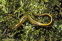 SL05-015z  Northern Two-lined Salamander - Eurycea bislineata .