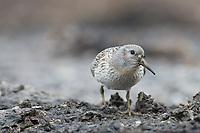 Juvenile Rock Sandpiper (Calidris ptilocnemis ptilocnemis) of the Pribilof Island race in breeding plumage. St. George Island, Alaska. July.