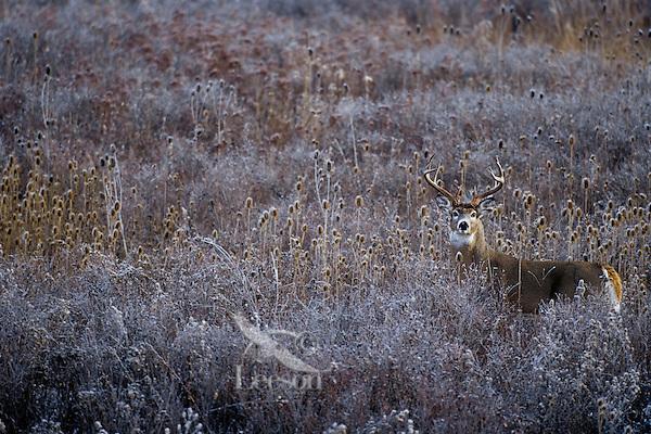 White-tailed deer (Odocoileus virginianus) buck in teasel.  Western U.S., late fall.