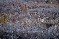 White-tailed deer (Odocoileus virginianus) buck in teasel.  Western U.S., late fall.