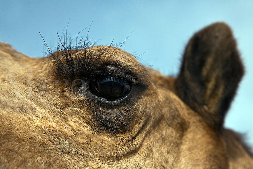 A CAMELS (Camelus bactrianus) EYE and EYE LASHES in the THAR DESERT - RAJASTHAN, INDIA