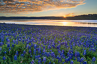 Golden Glow Over Bluebonnets - Bluebonnet Pictures - This photo was taken at the lake as the sunrise cast this golden glow over the clouds and lake with the bluebonnet landscape. Springtime in the Texas hill country is my favorite time because of all the wildflowers everywhere, especially when you come across a big field of bluebonnets it can magical landscape.
