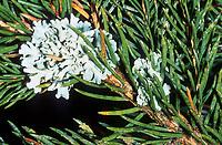 Graue Baumflechte, Blasenflechte, Blattförmige Blasenflechte, Gewöhnliche Blasenflechte, Hypogymnia physodes, Parmelia physodes