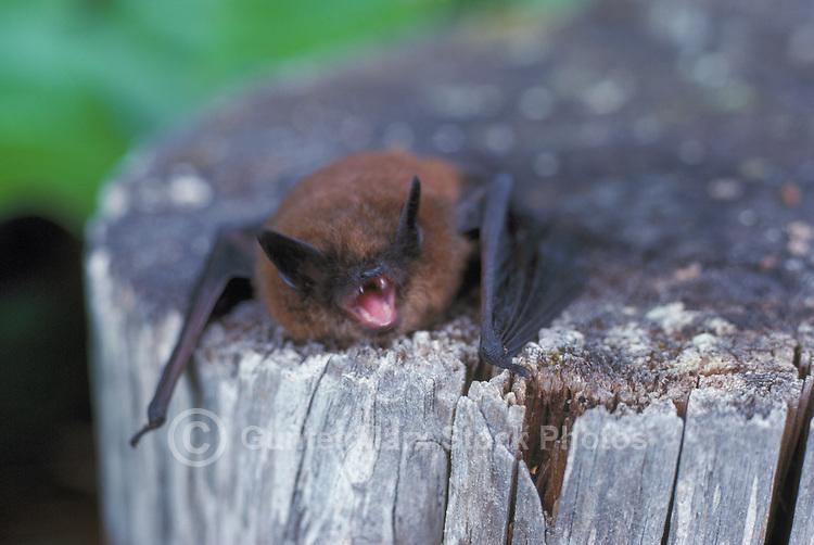 Little Brown Bat (Myotis lucifugus) lying on Tree Stump, BC, British Columbia, Canada