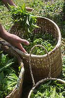 France, île de la Réunion, Saint-Joseph, Grand Coude: Plantation de thé: le labyrinthe en-champ-thé, cueillette du thé blanc  //  France, Reunion island (French overseas department), Saint Joseph, Grand Coude, picking white tea