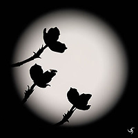 Silhouetted Dogwood flowers against a full moon.