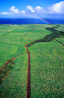 Aerial view of the sugar cane fields of Maui colored by a beautiful rainbow in the background