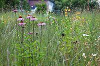 Echinacea purpurea, purple cone flower native wildflower in Minnesota prairie meadow garden