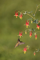 Black-chinned Hummingbird (Archilochus alexandri), male feeding from Red Columbine (Aquilegia canadensis) flower, Hill Country, Central Texas, USA