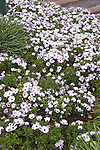 Bed of Trailing African Daisy or Freeway Daisy, Osteospermum Asti White, AAS winner