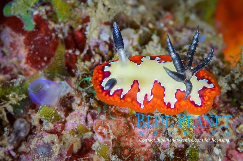 sea slug or nudibranch, Goniobranchus fidelis, Lembeh Strait, North Sulawesi, Indonesia, Pacific