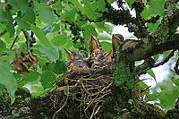 Wacholderdrossel, Küken, Jungvögel im Nest, Wacholder-Drossel, Turdus pilaris, fieldfare, La Grive litorne