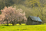 Old crabapple in blossom and shed.
