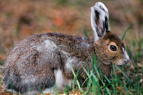 Snowshoe hare or varying hare (Lepus americanus) changing from winter white to summer brown..Spring.