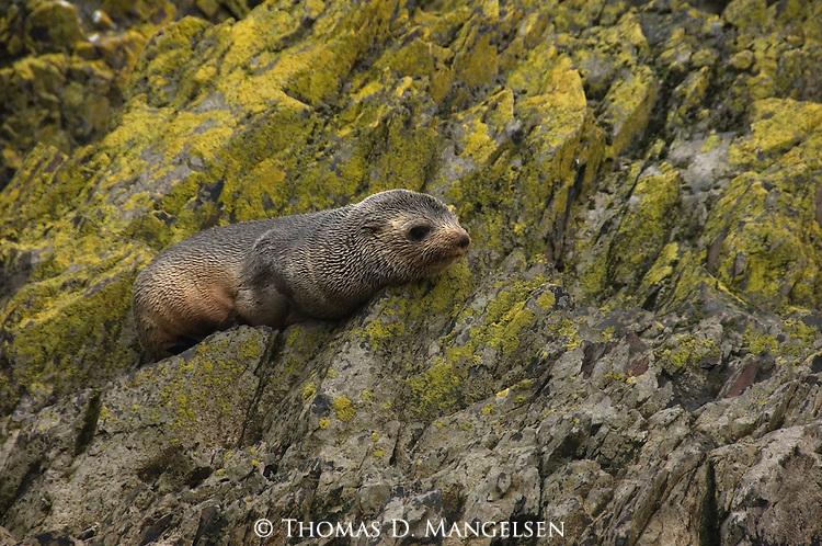 An Antarctic fur seal pup lays on rocks on Hercules Bay in South Georgia.