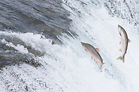 "Red salmon ""sockeye"" leap up the falls of Brooks River."