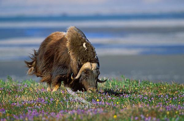 Muskox in tundra flowers.<br /> Arctic National Wildlife Refuge, Alaska.<br /> Summer. Ovibos moscchatus.